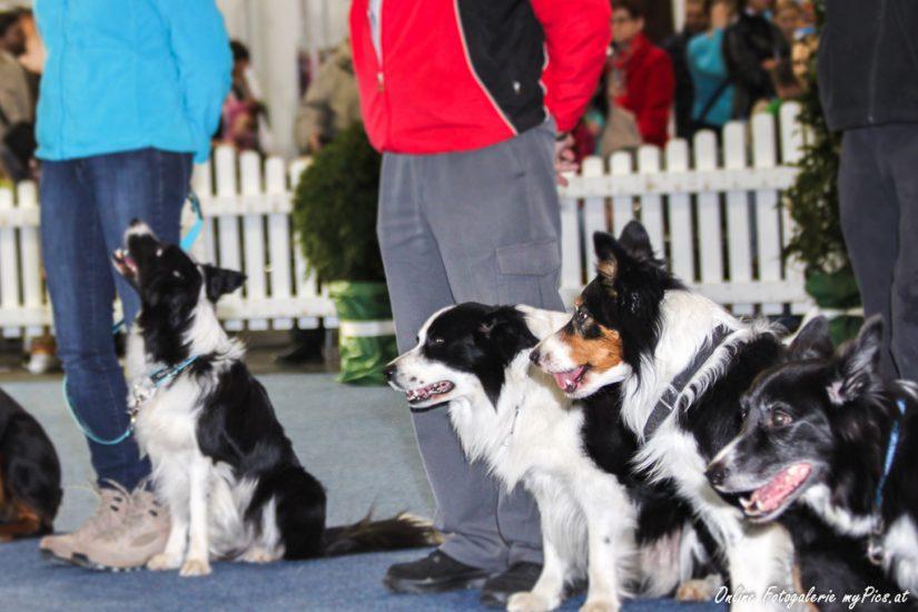 Internationale Hundeausstellungen in Österreich 2017